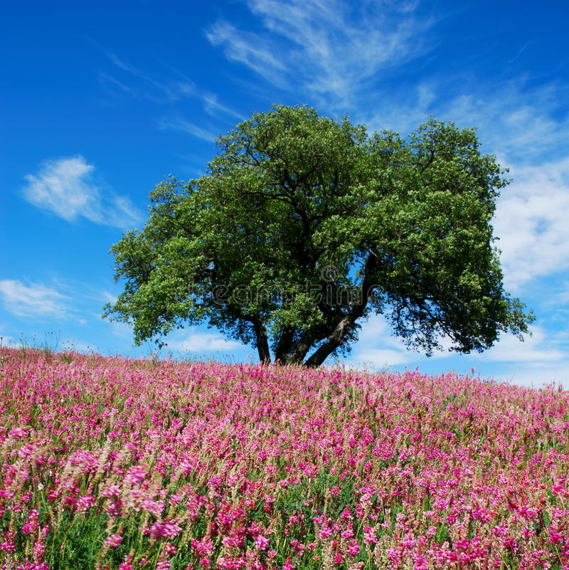Download Oak tree and pink flowers stock photo. Image of flora - 18057568