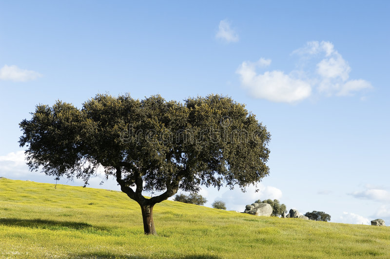 Oak tree - Quercus ilex stock photography
