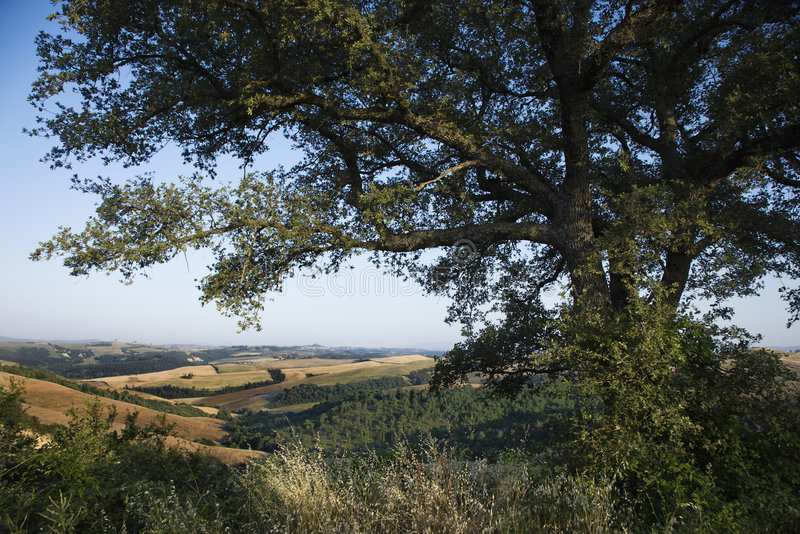 Oak Tree And Rolling Hills In Tuscany. Royalty Free Stock Photography