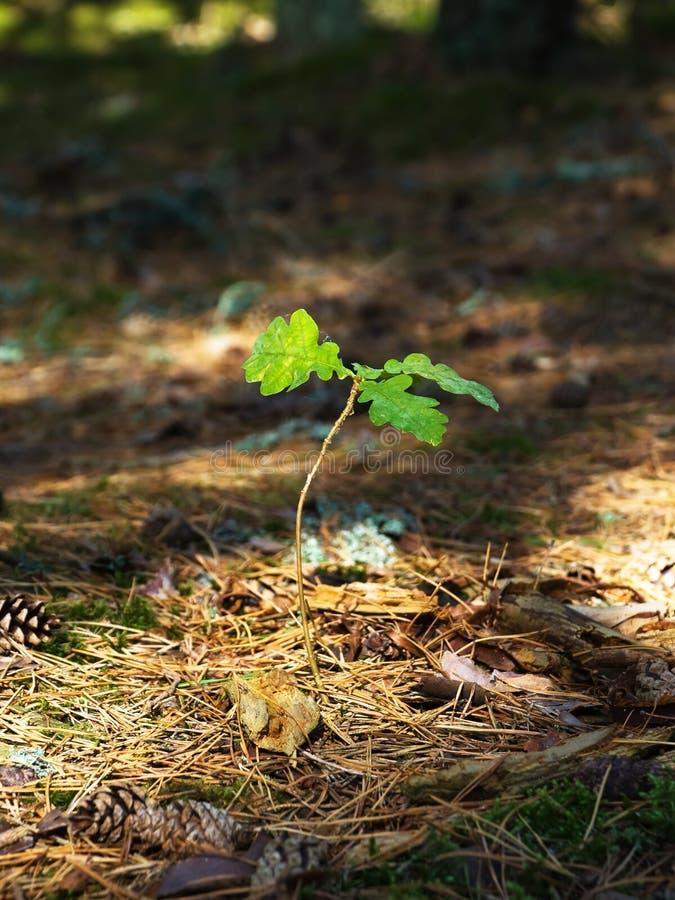 Oak tree sapling. Young oak tree sapling in the wood royalty free stock photos