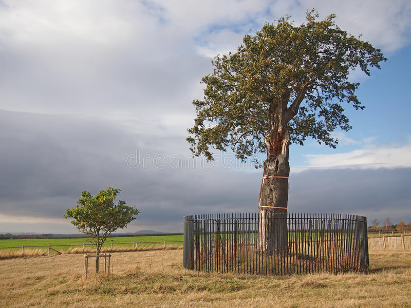 Oak Tree and Small Sapling stock images