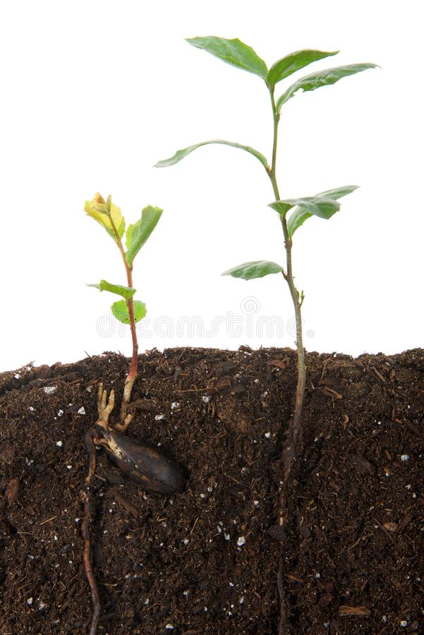 Oak tree saplings, one recently sprouted from seed, seed still attached, cross section. Oak tree saplings, one recently sprouted from seed, seed still attached royalty free stock image