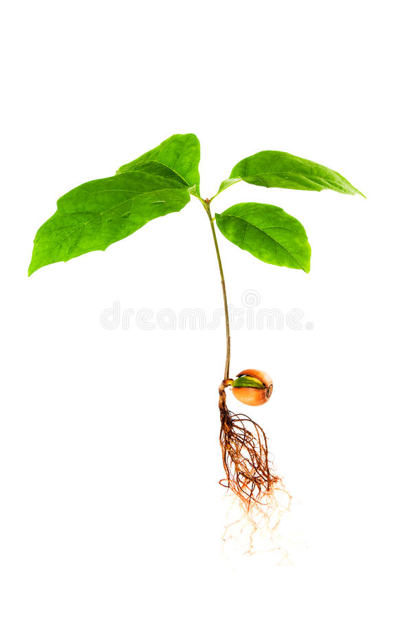 Oak tree seedling with roots. Oak seedling with roots on an isolated white background stock image