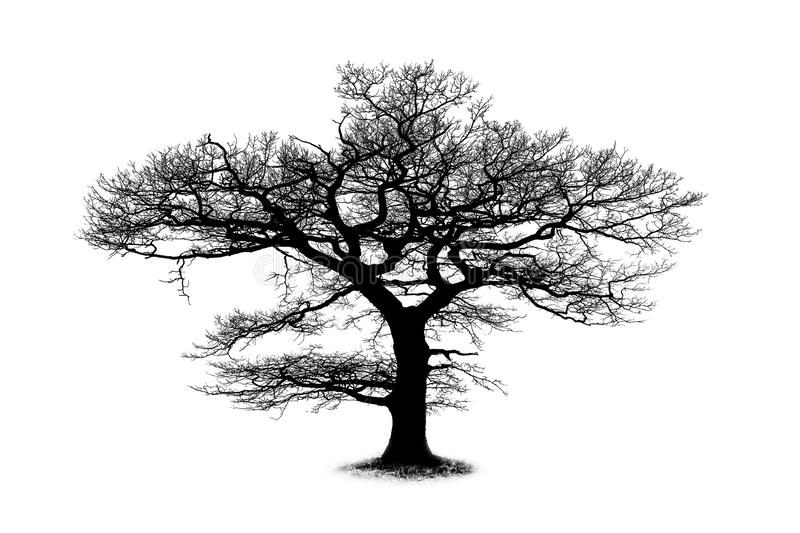 Oak tree silhouette isolated on white background stock image