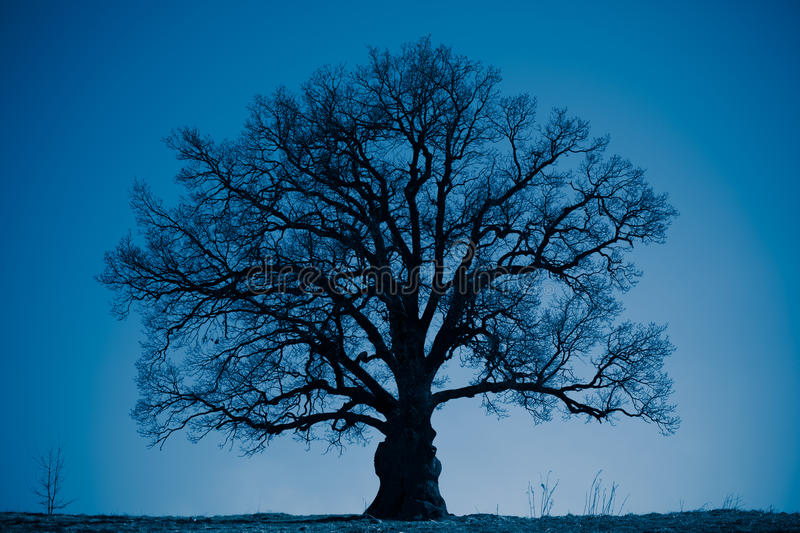 Oak tree silhouette at night royalty free stock photos