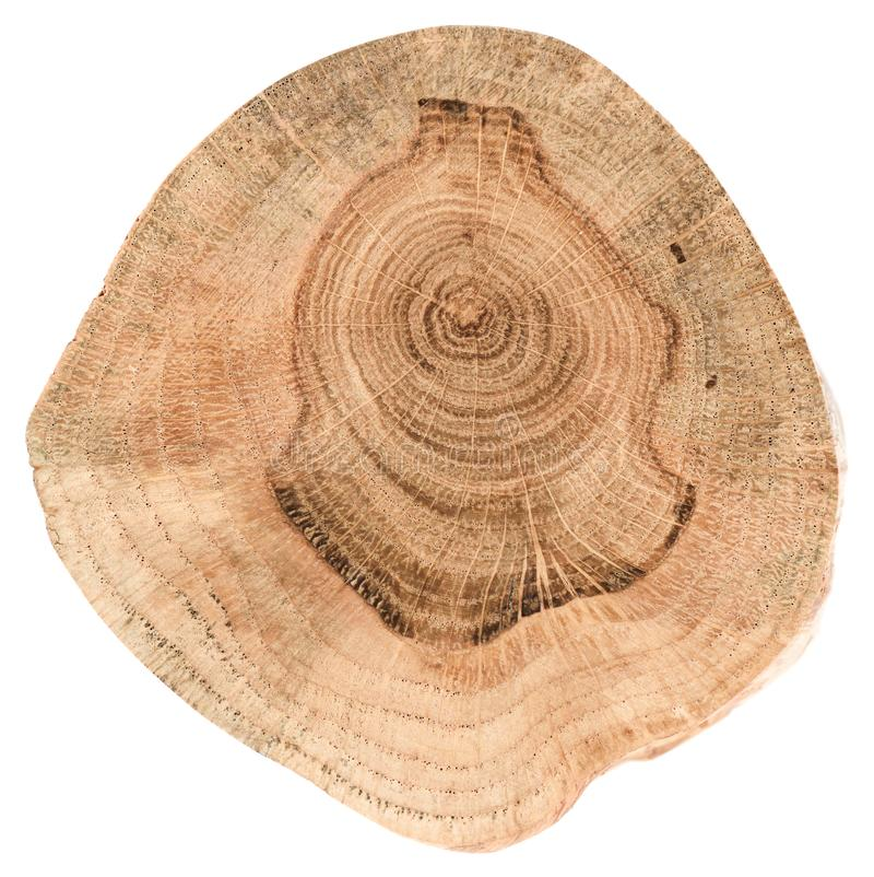 Oak tree slice texture. Irregular shape wood slab with annual ri stock photography