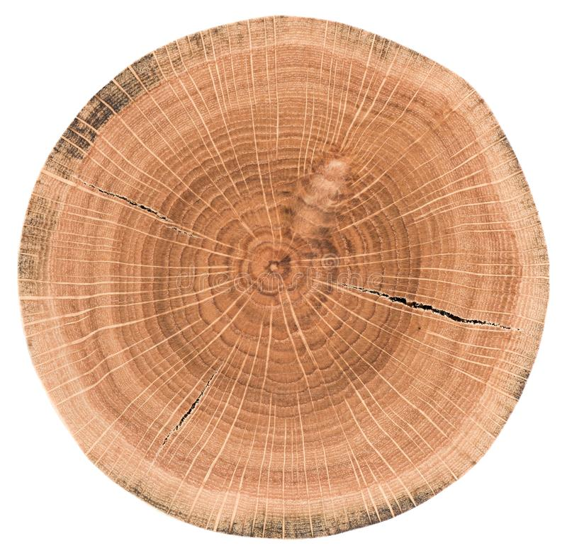 Oak tree slice. Wood slab with annual rings and cracks isolated royalty free stock photo