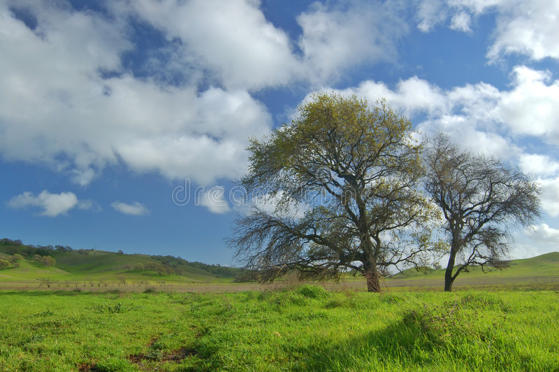 Oak Tree in spring stock photos