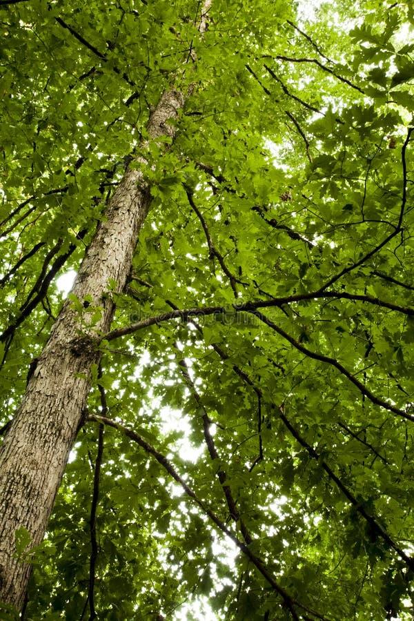 Free Oak Tree, Spring Foliage Stock Photo - 14844110