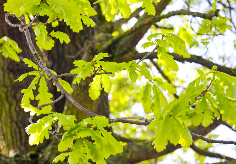 Oak tree in the spring royalty free stock photography