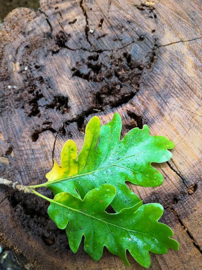 Oak tree stump on a background of brown autumn oak leaves. Cut with rings top view stock image