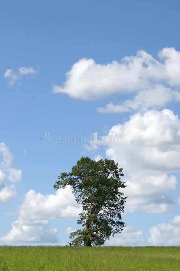 Oak Tree In Summer Picture. Image  4150163 c15535996e7