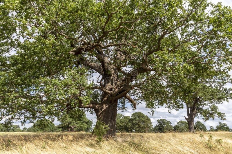 Oak Tree in parkland stock photos