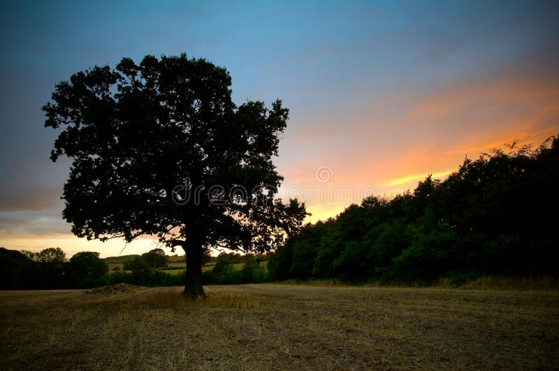 Download Oak tree sunset stock photo. Image of season, light, green - 20661860