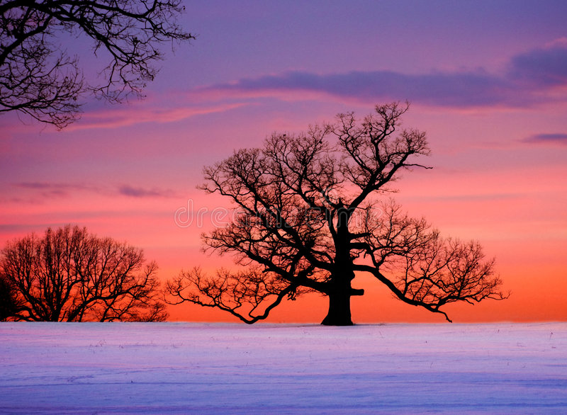 Oak tree at sunset stock image