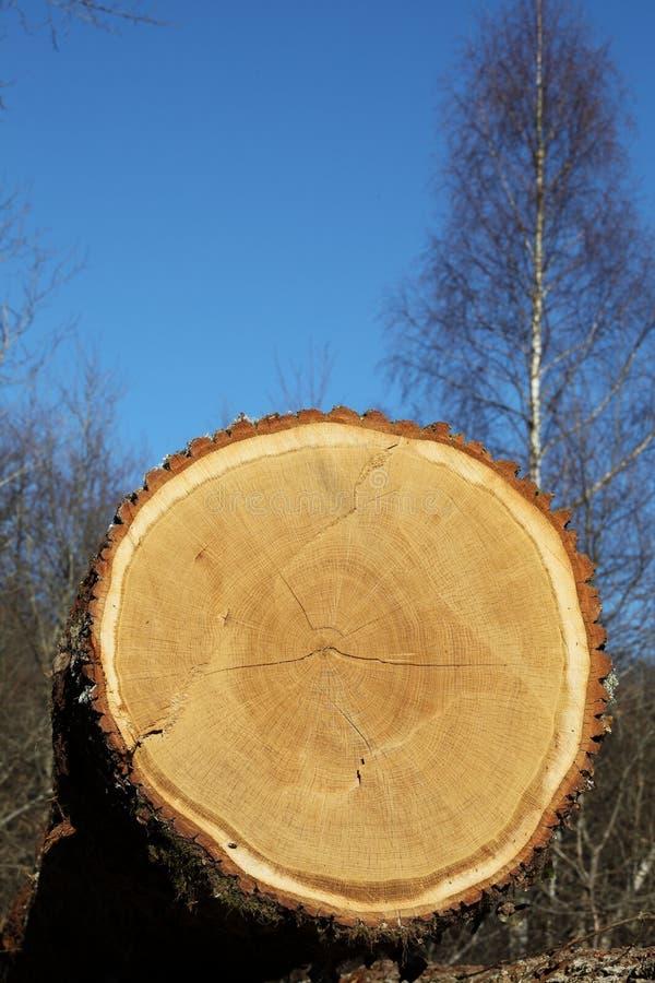 Free Oak Tree Trunk Cross Section Detail Royalty Free Stock Image - 18429866