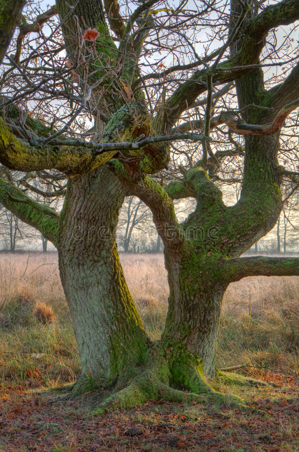 Oak tree with two stems royalty free stock images