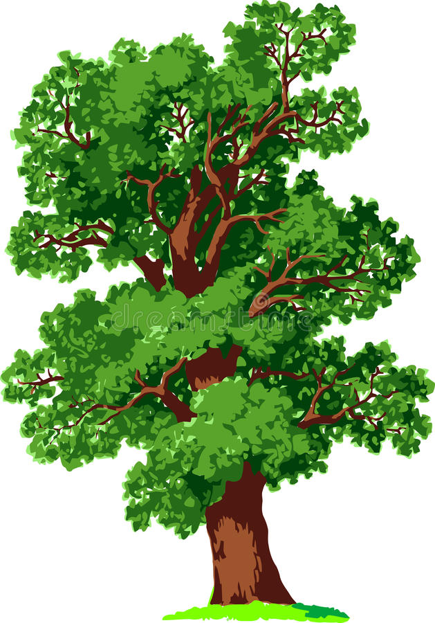 Oak tree. Vector. Oak tree in summer. illustration