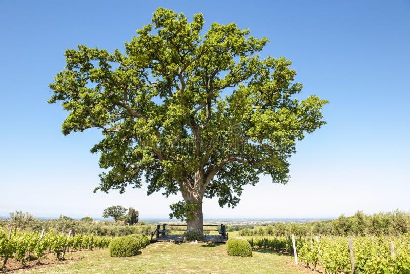 Oak tree between vineyard in Tuscany, Italy. Oak tree of winery Ornellaia stock photography