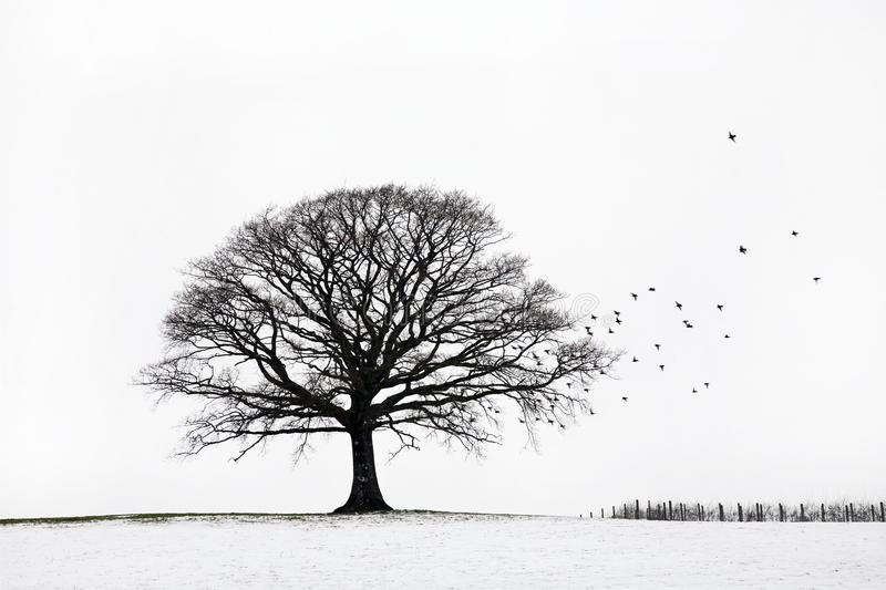 Oak Tree in Winter. Oak tree in a field of snow in winter with a flock of birds, against a white sky background royalty free stock image