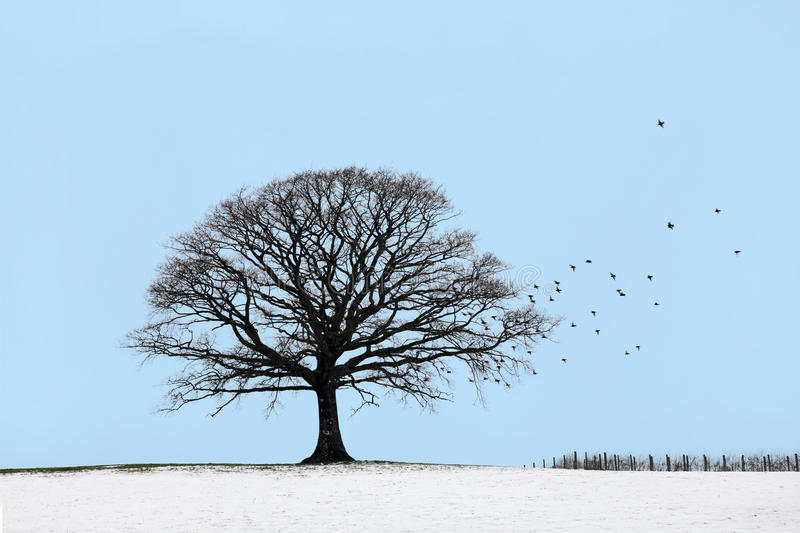 Oak Tree in Winter. Oak tree in a field of snow in winter with a flock of starling birds, against a blue sky royalty free stock photos
