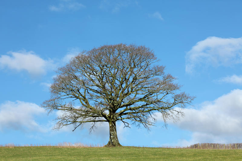 Oak Tree in Winter. In a field with a hedgerow to one side, against a blue sky with clouds royalty free stock photo