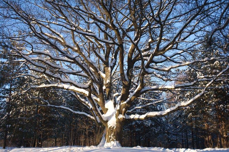 Download Oak-tree in winter wood stock photo. Image of frozen - 28847784