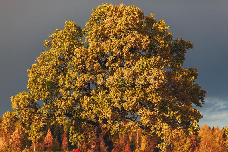 Oak tree with yellow foliage at sunny autumn day royalty free stock photography