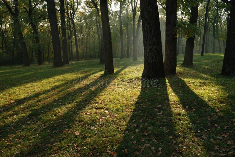 Oak trees stock images