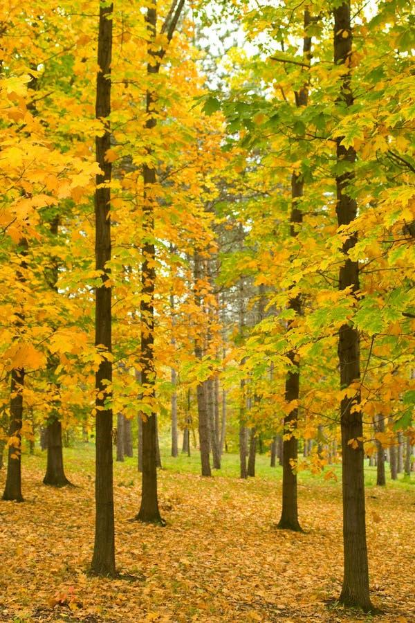 Oak trees in autumn park. With morning haze. Shallow DOF. Focus on nearest leaves stock photos