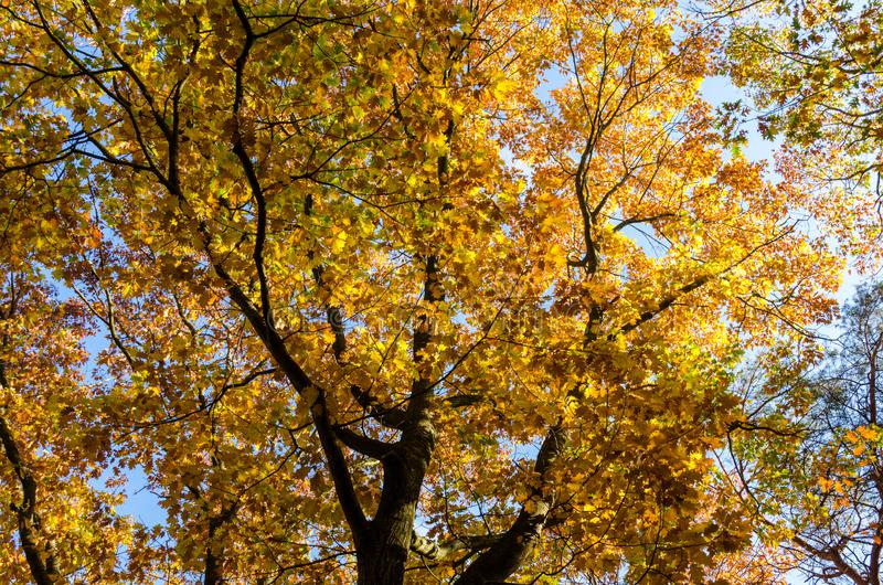 Oak trees from below against a clear blue sky on a sunny autumn day. stock photo