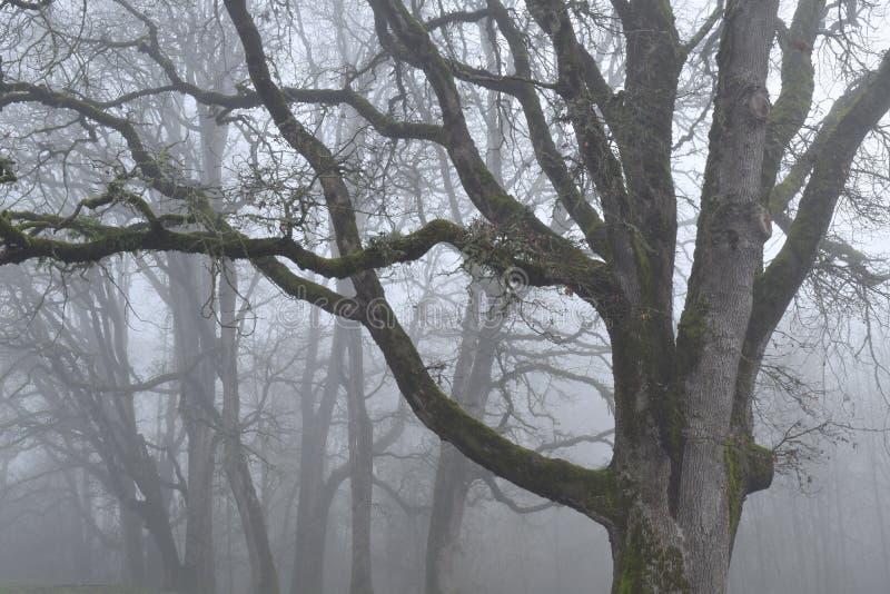 Oak trees in fog stock photo