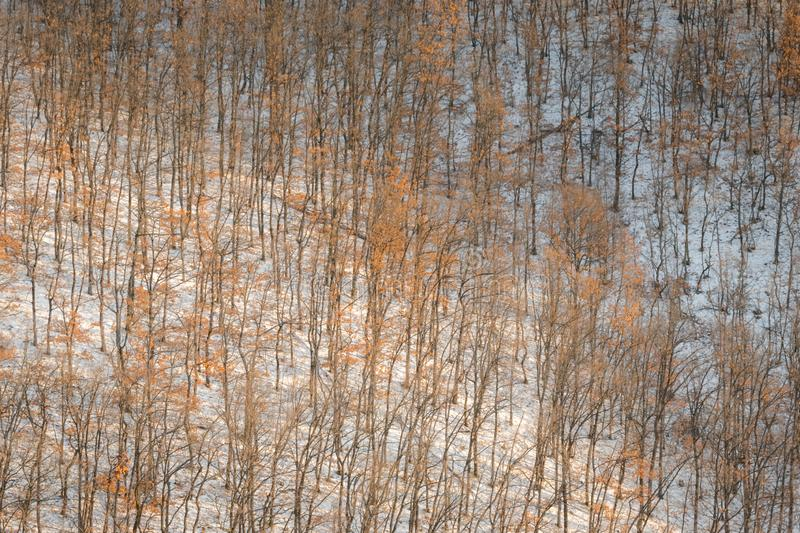 Oak trees forest hill pattern on cold snowy day stock image