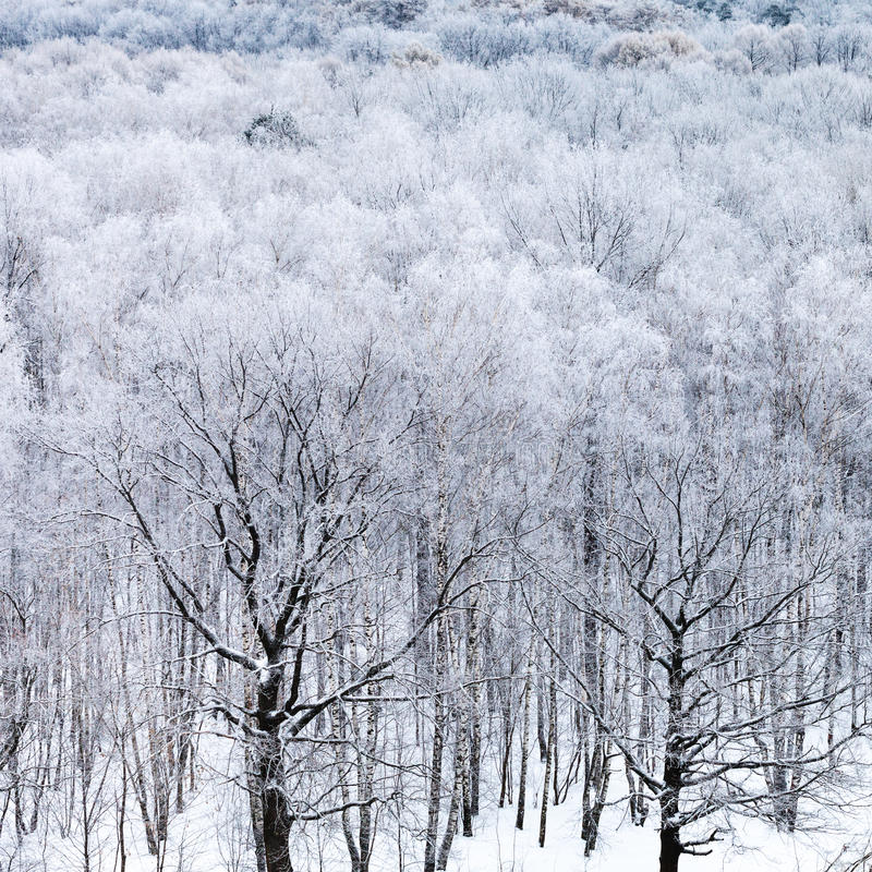 Oak trees in forest in snow in cold winter day. Above view of oak trees in forest in snow in cold winter day stock image
