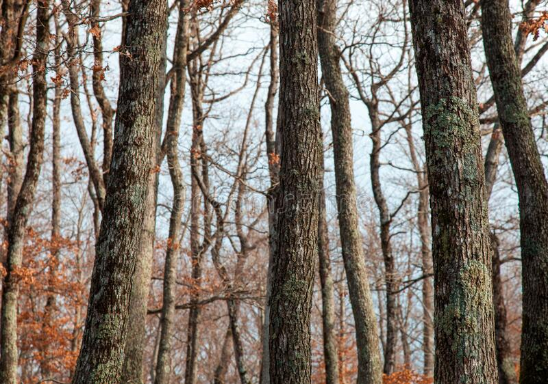 oak trees royalty free stock photos