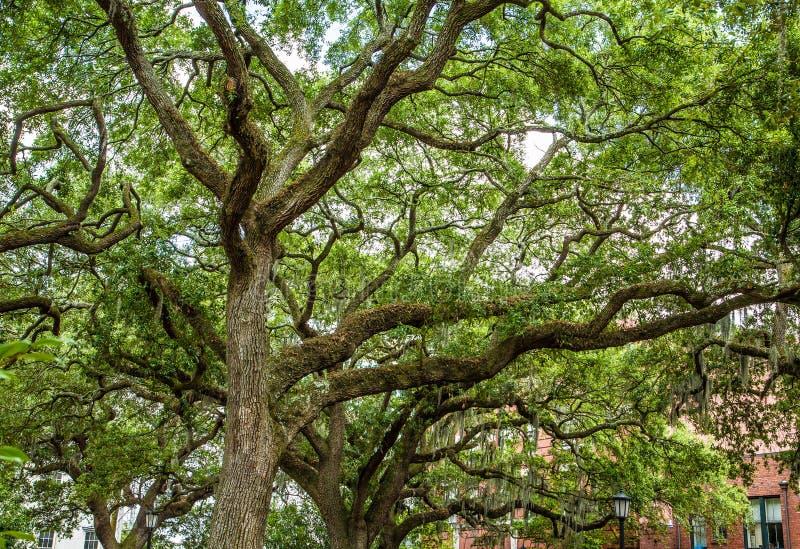 Oak Trees with Spanish Moss in Savannah Park stock photo