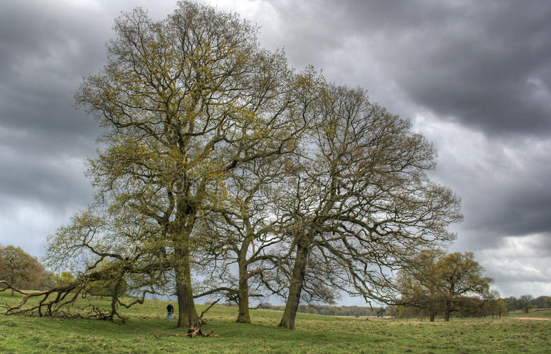 Oak Trees in Spring. Two Oak Trees coming into leaf, under stormy skies. Tatton Park, Cheshire, England royalty free stock photos