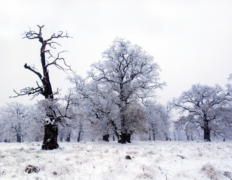 Oak trees in winter. Old oak trees with bare branches in winter. Breite National Park, Romania stock images