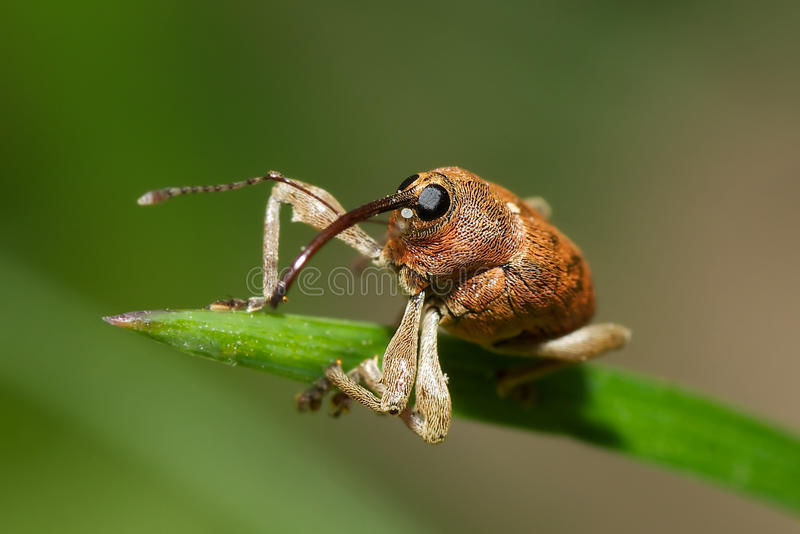 Oak weevil royalty free stock image