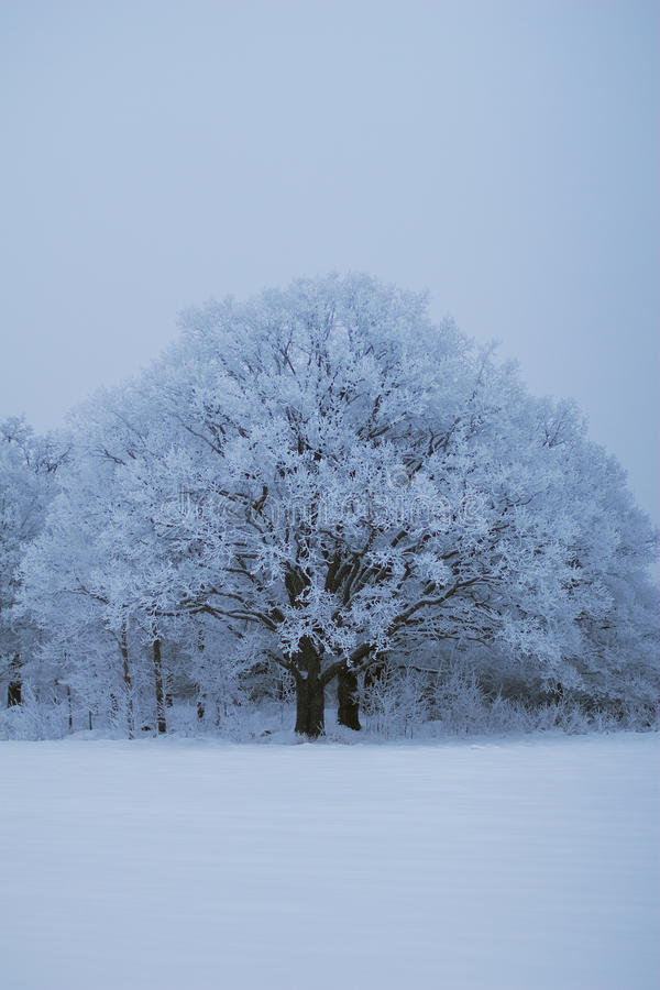 Download Oak in winter stock image. Image of country, rime, beautiful - 12791009