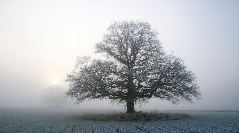 Oak in winter fog royalty free stock photos