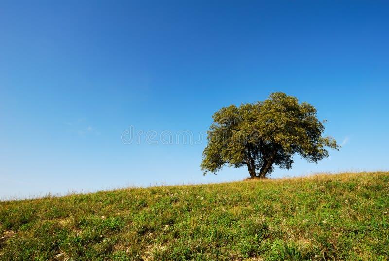 oakenslingtree fotografering för bildbyråer