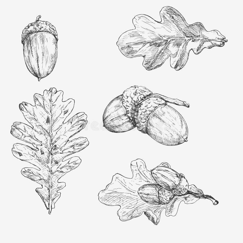 Oakleaf och ekollon illustratören för illustrationen för handen för borstekol gör teckningen tecknade som look pastell till tradi royaltyfri illustrationer