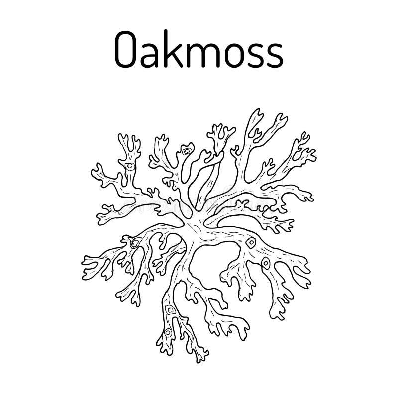 Oakmoss Evernia prunastri, medicinalväxt vektor illustrationer