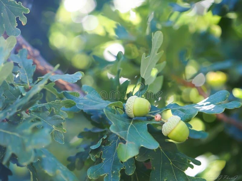 oaks royaltyfri foto