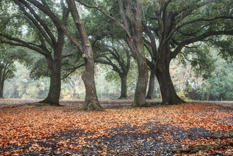 The Oaks of Golden Meadow stock photography