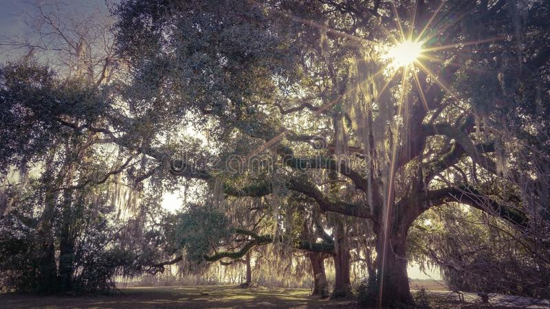 Oaks & Sun royalty free stock photography