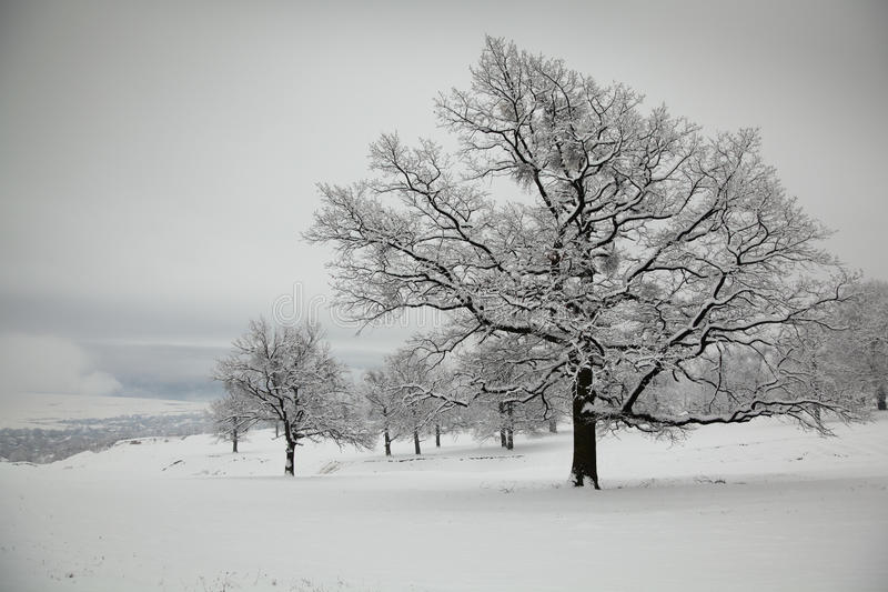 Oaks in winter stock images