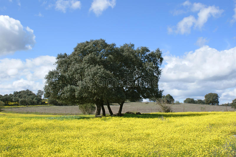 Oaks on yellow flowers with cloudy blue sky background royalty free stock photo