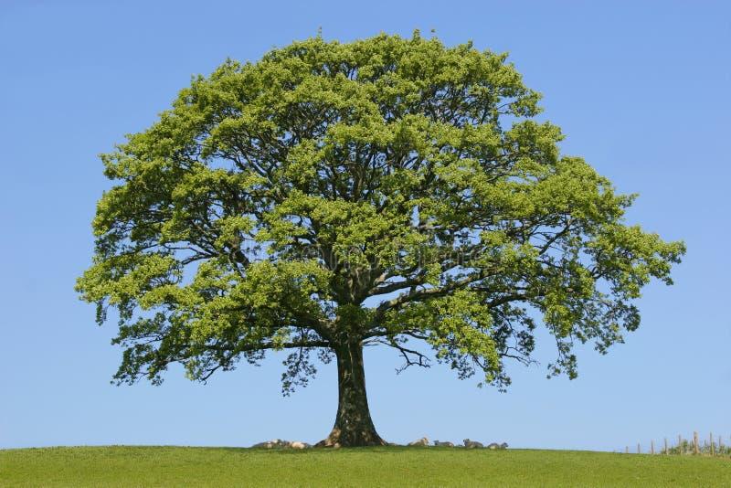 oakskydd royaltyfri bild